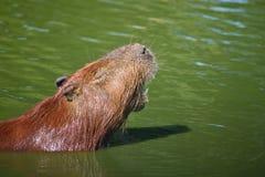Capybara nel lago Immagini Stock Libere da Diritti