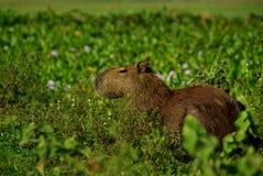 Capybara nel Los Llanos Immagini Stock