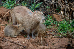 Capybara nell'habitat della natura del pantanal nordico Fotografia Stock Libera da Diritti
