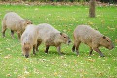 Capybara no sol imagem de stock royalty free