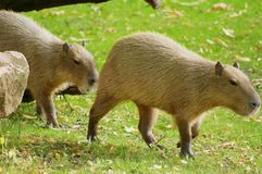 Capybara no sol fotografia de stock royalty free
