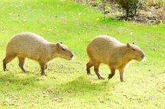 Capybara no sol imagens de stock royalty free