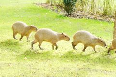 Capybara no sol foto de stock