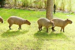 Capybara no sol fotografia de stock