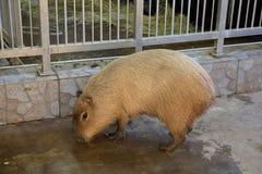 Capybara o maiale acquatico immagine stock libera da diritti
