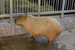 Capybara o maiale acquatico immagini stock libere da diritti