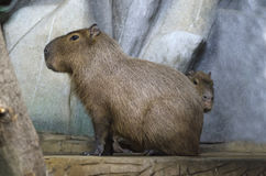 Capybara with offspring. In the background of stones Stock Photos
