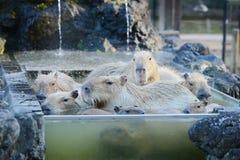 Capybara onsen Royalty Free Stock Photography