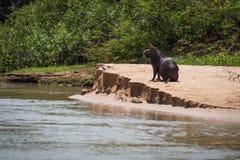 Capybara på bank med fågeln på huvudet Royaltyfria Bilder