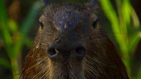 Capybara, Pantanal, Brasil Mamíferos grandes pelo lago fotografia de stock