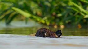 Capybara, Pantanal, Brasil Mamíferos grandes pelo lago fotografia de stock royalty free