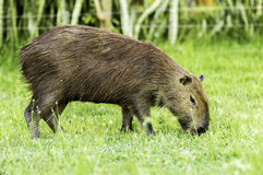 Capybara in Pantanal, Brazil, South America Stock Images