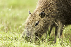 Capybara in Pantanal, Brazil, South America Royalty Free Stock Photo