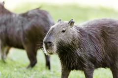Capybara in Pantanal, Brazil, South America Stock Photo