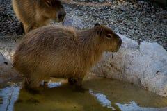 Capybara in a pool. A capybara taking a bath in a pool Stock Image