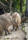 Capybara - porc Hydrochaeris Hydrochaeris Linnaeus de l'eau photo libre de droits