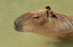 Capybara portrait Royalty Free Stock Images
