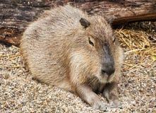 Capybara portrait - Hydrochoerus hydrochaeris. Animal scene. Beauty in nature Royalty Free Stock Image
