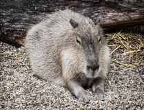 Capybara portrait (Hydrochoerus hydrochaeris), animal scene. Capybara (Hydrochoerus hydrochaeris) is a large rodent of the genus Hydrochoerus of which the only Royalty Free Stock Photos