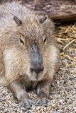 Capybara portrait - Hydrochoerus hydrochaeris, animal scene. Capybara (Hydrochoerus hydrochaeris) is a large rodent of the genus Hydrochoerus of which the only Royalty Free Stock Photos
