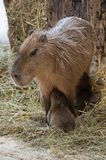 Capybara Royalty Free Stock Photo