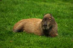 Capybara que relaxa imagem de stock