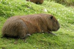 Capybara Relaxing Stock Images