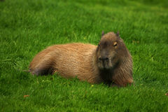Capybara Relaxing Stock Image