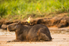 Capybara Resting on Beach Royalty Free Stock Image