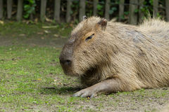 Capybara resting Royalty Free Stock Images