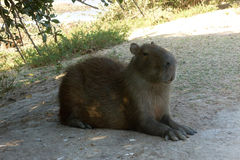 Capybara. Resting in the shade of a tree. Venezuela, South America Stock Photos