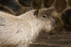 Capybara rodent Royalty Free Stock Photo