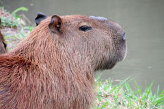 Capybara rodent Stock Photography