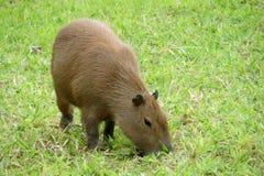Capybara rodent. The capybara Hydrochoerus hydrochaeris  Wild animals of Pantanal, Brazil. largest rodent in the world. Capybara sitting on green grass Royalty Free Stock Image