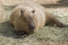 Capybara Rodent - Hydrochoeuis hydrochaeris Stock Photos