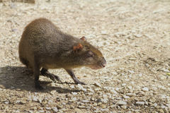 Capybara Rodents - Hydrochoeuis Hydrochaeris Stock Photography