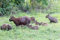 Capybara ` s Lizenzfreie Stockfotografie
