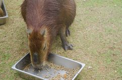 Capybara. It`s the largest rodent in the world. Its scientific name is Hydrochaeris hydrochaeris a member of the genus Hydrochoerus and has members who are in Stock Images