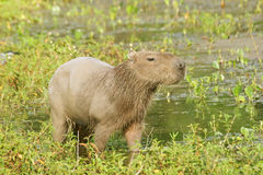 Capybara. Scientifically named Hydrochoerus hydrochaeris.This species occurs only in habitat close to water including marshes, estuaries, and along rivers and Royalty Free Stock Image