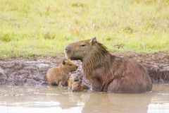 Capybara. Scientifically named Hydrochoerus hydrochaeris.This species occurs only in habitat close to water including marshes, estuaries, and along rivers and Royalty Free Stock Images