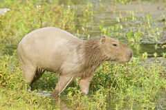 Capybara. Scientifically named Hydrochoerus hydrochaeris.This species occurs only in habitat close to water including marshes, estuaries, and along rivers and Stock Photography