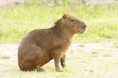 Capybara. Scientifically named Hydrochoerus hydrochaeris.This species occurs only in habitat close to water including marshes, estuaries, and along rivers and Stock Photos