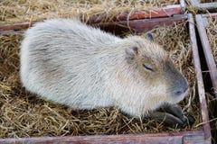 Capybara se reposant dans la boîte en bois avec l'herbe Photographie stock