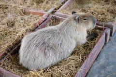 Capybara se reposant dans la boîte en bois avec l'herbe Photographie stock libre de droits