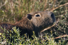 Capybara. Side view in argentina Royalty Free Stock Image