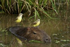 Capybara with singing birds in swamp Royalty Free Stock Images