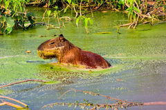 A Capybara sitting in the green waters of a pond Stock Image