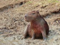 Capybara sitting in the mud of a river shore stock photos