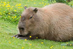 Capybara sitting Royalty Free Stock Photo