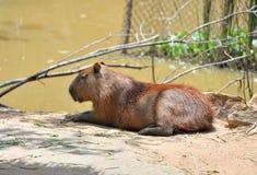 Capybara Royalty Free Stock Images